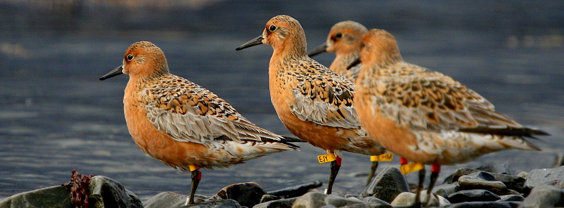 Red Knots. Photo: Morten Ekker